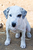 White puppy with black stains — Stock Photo