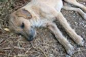 Street dog lying on ground — Stock Photo