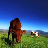 The calf on the background of the mountain scenery in the summer — Stock Photo
