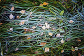 Frost on the grass — Stock Photo