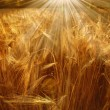 Royalty-Free Stock Photo: Wheat field in the sun