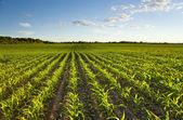 Campo verde con maíz tierno al atardecer — Foto de Stock