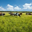 Stock Photo: Cows grazing in green meadow