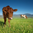 Stock Photo: Cows graze on green meadow