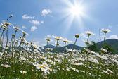 Camomile meadow — Stock Photo