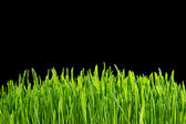 Grass on a black background — Stockfoto