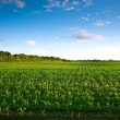 Green field with young corn at sunset — Stock Photo