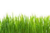 Wet grass on white background — Stock Photo
