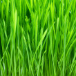 Stock Photo: Wet with dew green grass closeup