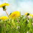 Stock Photo: Spring flowers, dandelion