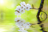 Spring flowering branch reflected in clear water — Stock Photo