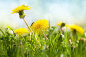 Spring flowers, dandelion — Stock Photo