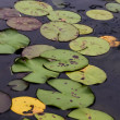 Lilly Pads — Stock Photo