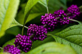Purple berries on green leaves — Stock Photo