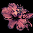 Aged Hibiscus isolated on black background — Foto Stock