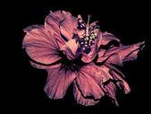 Aged Hibiscus isolated on black background — Stock Photo