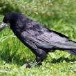 Black rook — Stock Photo #8124122