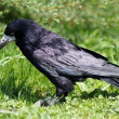 Stock Photo: Black rook