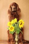 Irish red setter with sunflowers — Stock Photo