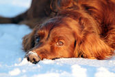 Dog lying in the snow — Stock Photo