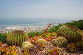 Big and small cactuses on the Mediterranean seaside close by city — Stock Photo