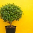 A green tree on a yellow background — Stock Photo