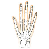 Bones of the Human Hand — Stock Vector