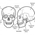 Skull Chart — Stock Vector #9413531