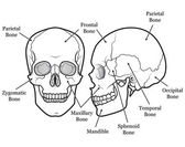 Skull Chart — Stock Vector