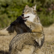 Wolves display bonding rituals - Stock Photo