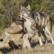 Wolves display bonding rituals — Foto Stock