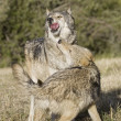 Wolves display bonding rituals — Stock Photo