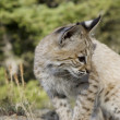 Royalty-Free Stock Photo: Bobcat kitten in the woods