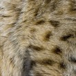 Stock Photo: Close up of Bobcat fur