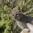 Bobcat kitten in the woods — Stock Photo