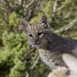 Bobcat kitten in the woods — Stock Photo #8085855