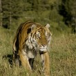 Siberian Tiger emerges from the woodlands — Stock Photo