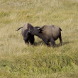 Stock Photo: 2 AmericBison greet and bond in Yellowstone