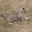 Young Lion runs in Masai Mara — Stock Photo #8085958