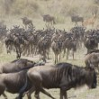 Wildebeest running towards the river on migration - Photo