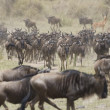 Wildebeest running towards the river on migration - Stock Photo