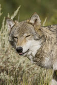 Adult Female Wolf emerges from the forest — Stock Photo