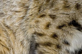Close up of Bobcat fur — Stock Photo