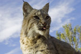 Female Bobcat in the woods — Stock Photo
