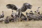 White backed vultures squabble in the Masai Mara — Stock Photo