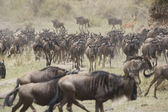 Wildebeest running towards the river on migration — Stock Photo