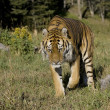 Stock Photo: SiberiTiger walking