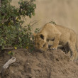 Lion cub on termite mound in Masai Mar- Kenya — Stock Photo #8145168