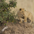 Lion cub in Masai Mar- Kenya — Stock Photo #8145172