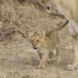 Stock Photo: Lioness and cub in Masai Mar- Kenya